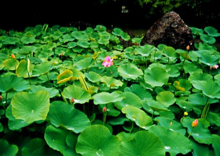 Lily pads in the garden of the Moss Temple (Saiho-ji) or Koke-dera in Kyoto, Japan