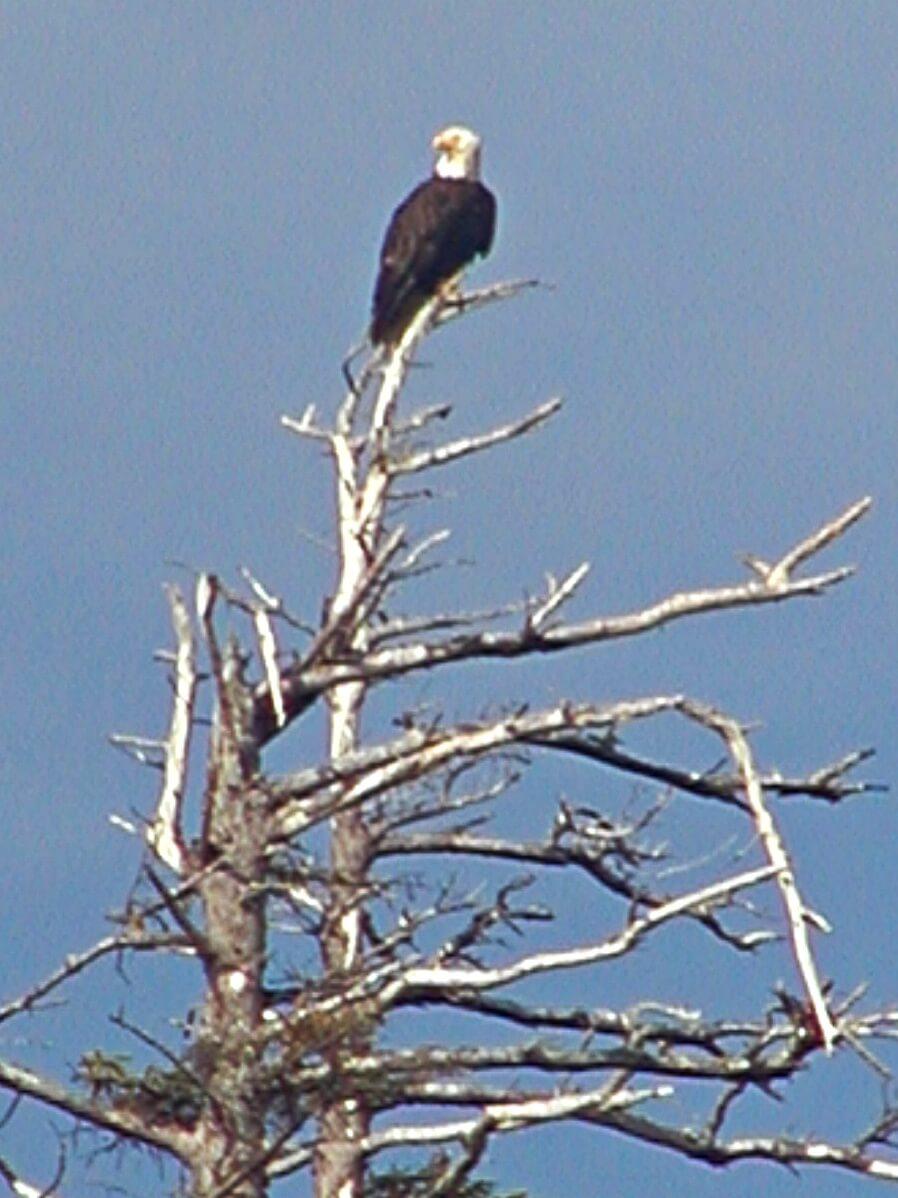 Haida-Gwaii-Kayaking-Queen-Charlotte-Islands Bald eagle