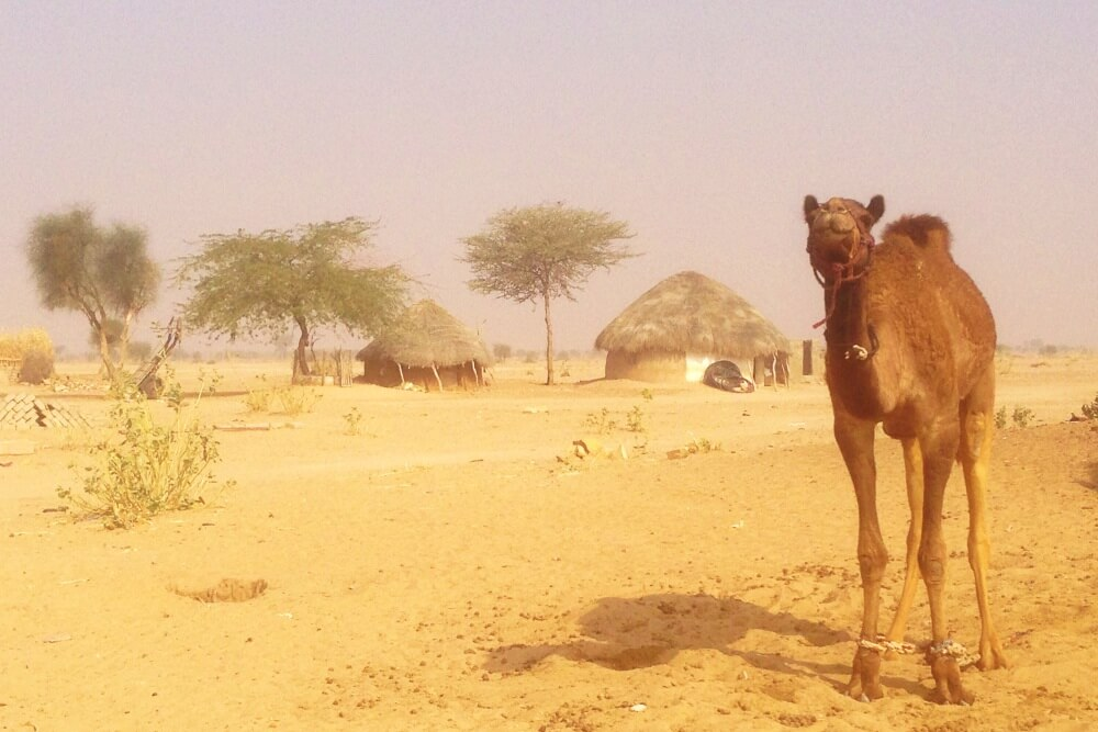 camel and village