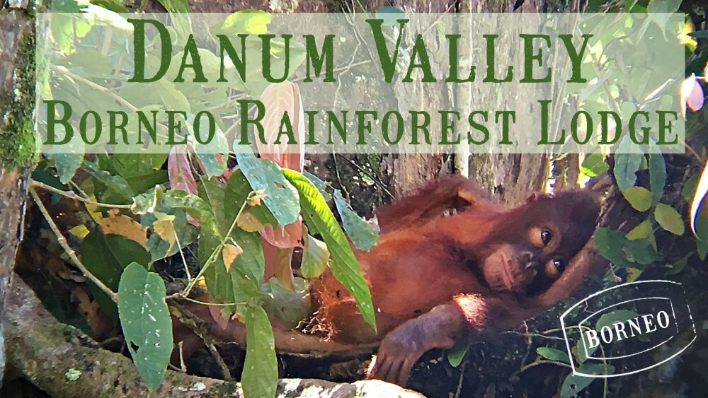 Danum Valley Borneo Rainforest Lodge baby orangutan in nest with mother