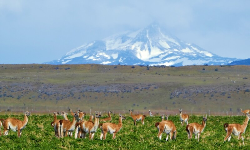 Guanacos from side of the road photo taken while driving in Patagonia