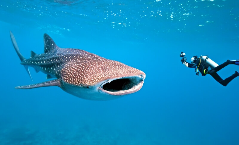 what to do in Galapagos is dive with whale sharks