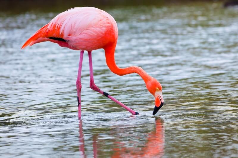 things to do at the Galapagos Islands includes seeing bright pink Galapagos flamingoes
