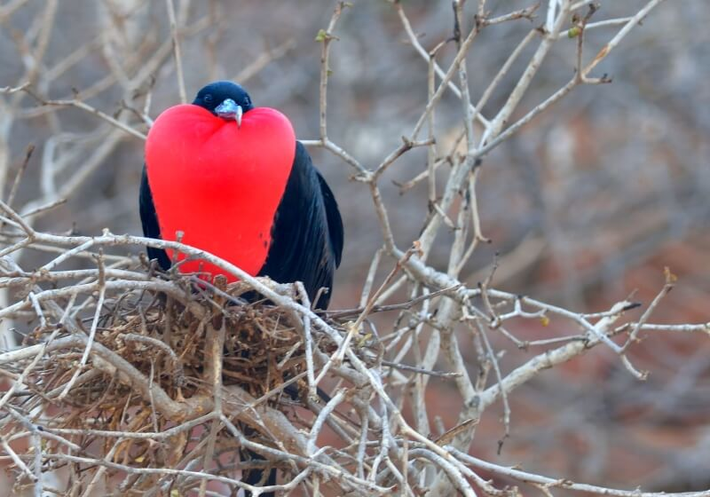 Seeing Frigate birds is one of the must see Galapagos Islands