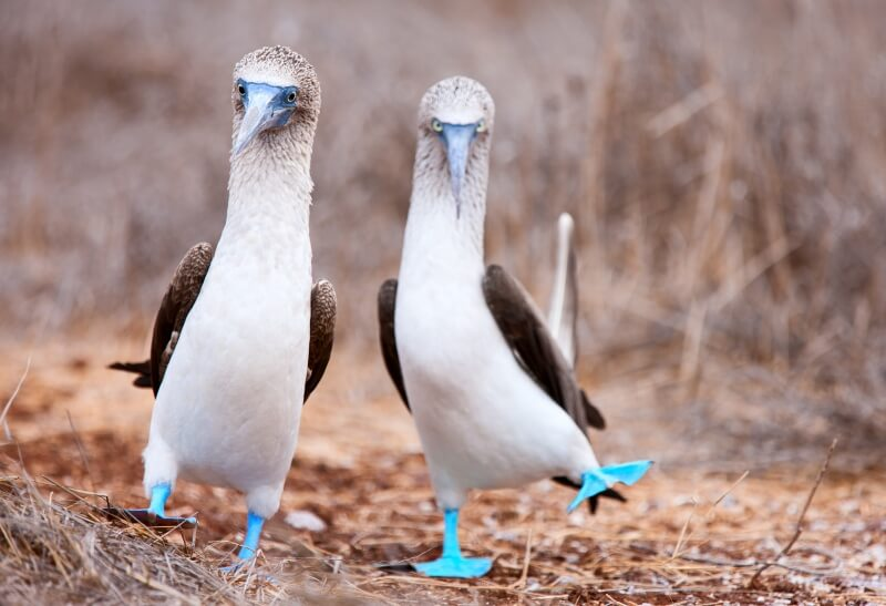 Galapagos Islands what to do witness blue footed boobies mating dance