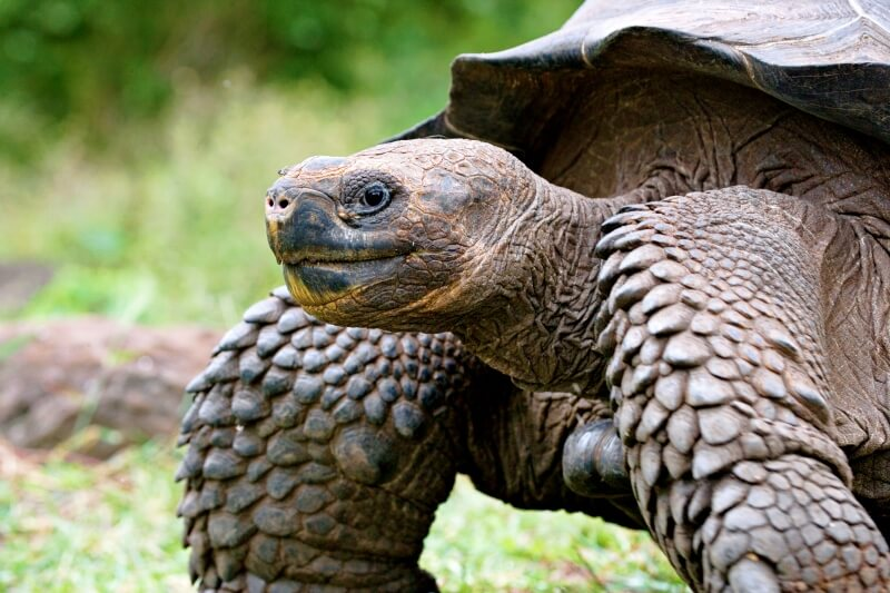 best activities to do in Galapagos Islands is see giant land tortoises