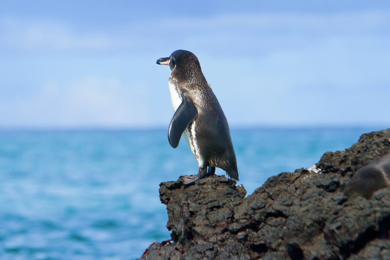 One of top ten things to do in Galapagos Islands is see equatorial Galapagos penguin