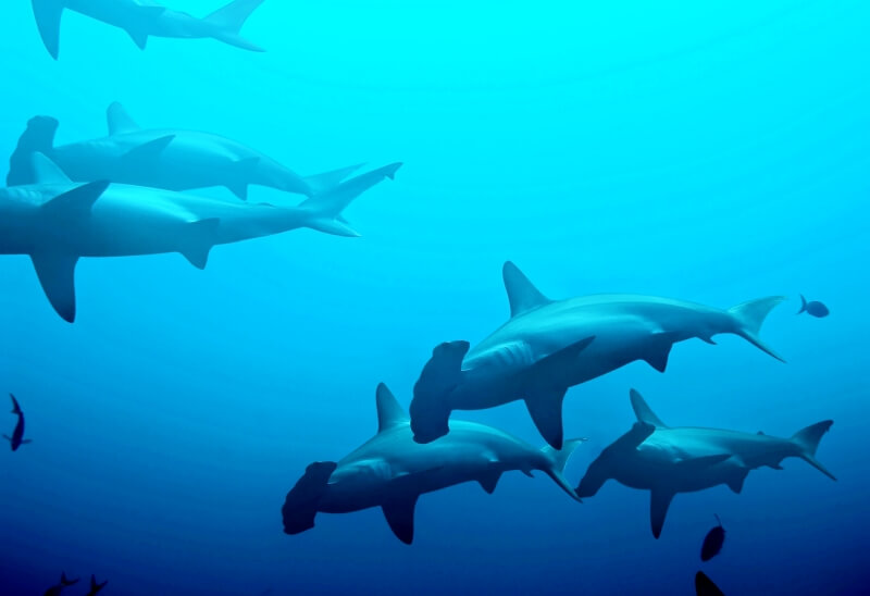 One of things to do at Galapagos Islands is Diving with schools of hammerhead sharks Galapagos Islands