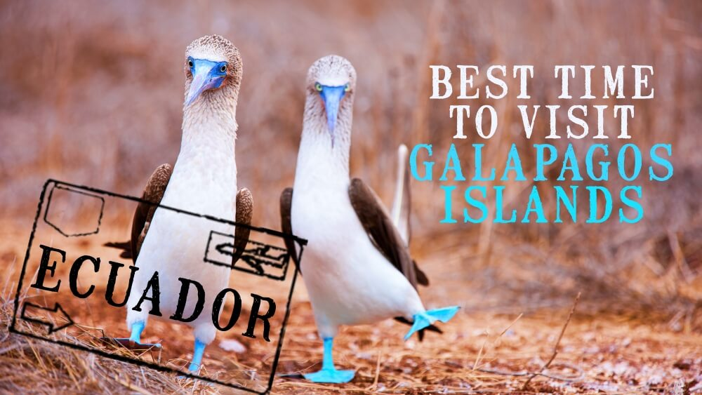Blue footed boobies mating dance representing Best-Time-of-year-to-visit-the-Galapagos-Islands